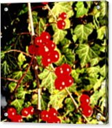 Red Berries And Ivy Acrylic Print