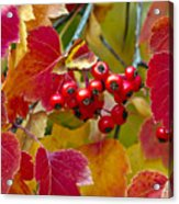 Red Berries Fall Colors Acrylic Print