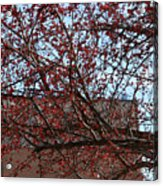 Red Berries In Tree Acrylic Print