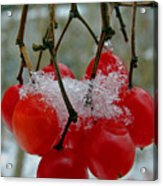 Red Berries In Winter Acrylic Print