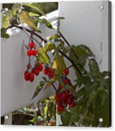 Red Berries On A White Fence Acrylic Print