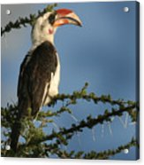 Red Bill Hornbill Acrylic Print