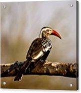 Red-billed Hornbill Acrylic Print