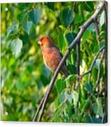 Red Bird Acrylic Print