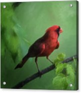 Red Bird On A Hot Day Acrylic Print