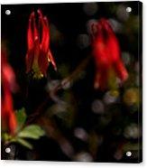 Red Blaze Acrylic Print