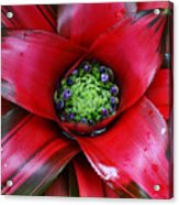 Red Bloom Acrylic Print