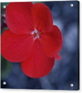 Red Blossoms Acrylic Print