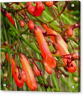 Red Blossoms Of A Firecracker Plant Acrylic Print