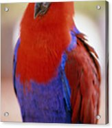 Red Blue Macaw Acrylic Print