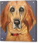 Red Bone Coon Hound Acrylic Print