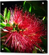 Red Bottle Brush Acrylic Print