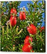 Red Bottlebrush At Pilgrim Place In Claremont-california Acrylic Print