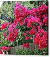 Red Bougainvillea Acrylic Print