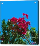 Red Bougainvillea Glabra Vine In Juniperus Virginiana Tree In Co Acrylic Print