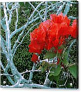 Red Bougainvillea Thorns Acrylic Print