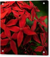 Red Bouquet 7 Acrylic Print