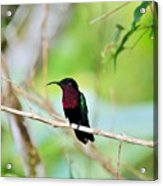 Red Breasted Humming Bird  Acrylic Print