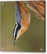 Red-breasted Nuthatch Upside Down Acrylic Print