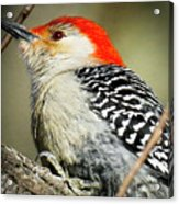 Red-breasted Woodpecker 1 Acrylic Print
