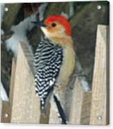Red Breasted Woodpecker On Fence Acrylic Print