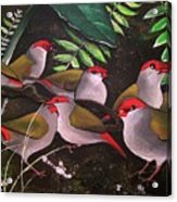 Red-browed Finch Flock Weipa Acrylic Print
