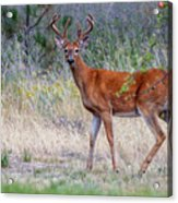 Red Bucks 1 Acrylic Print