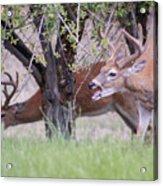 Red Bucks 5 Acrylic Print