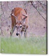 Red Bucks 6 Acrylic Print