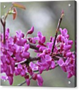 Red Bud Blossoms Acrylic Print