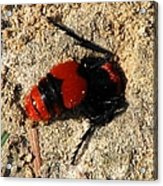 Red Burrowing Insect Acrylic Print