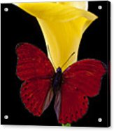 Red Butterfly And Calla Lily Acrylic Print