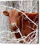 Red Calf  Hideaway Acrylic Print