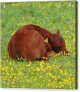 Red Calf In The Buttercup Meadow Acrylic Print