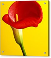 Red Calla Lilly  Acrylic Print