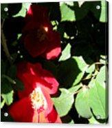 Red Camelias Acrylic Print