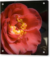 Red Camellia Bloom Acrylic Print