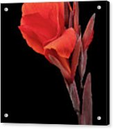 Red Canna Acrylic Print