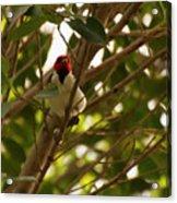 Red-capped Cardinal Digital Oil Acrylic Print