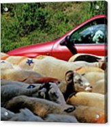 Red Car Blocked By A Flock Of Sheep Acrylic Print by Sami Sarkis