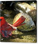 Red Cardinal Bathing Acrylic Print