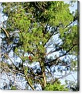 Red Cardinal In Tree Acrylic Print