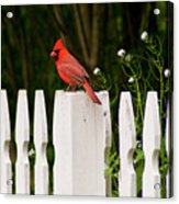 Red Cardinal--white Fence Acrylic Print