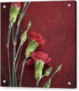 Red Carnation Stems Acrylic Print
