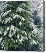 Red Cedar And Snow Acrylic Print