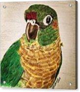 Green Cheeked Conure Acrylic Print