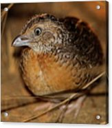 Red-chested Button-quail Acrylic Print