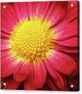 Red Chrysanthemum Acrylic Print