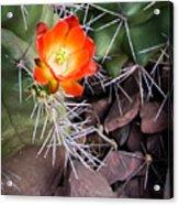 Red Claretcup Cactus Acrylic Print