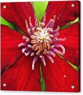 Red Clematis Acrylic Print